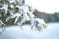Frosted White Pine Fine-Art Print