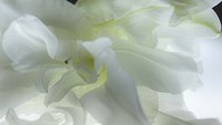 Close Up of White Flower Fine-Art Print