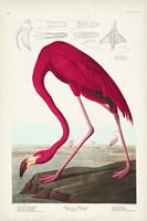 Pl 431 American Flamingo Fine-Art Print