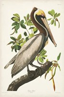 Pl 251 Brown Pelican Fine-Art Print