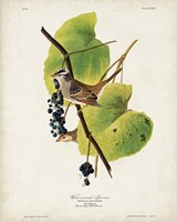 Pl 114 White-crowned Sparrow Fine-Art Print