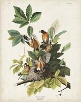 Pl 131 American Robin Fine-Art Print