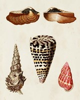 Knorr Shells III Fine-Art Print