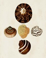 Knorr Shells V Fine-Art Print