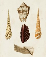 Knorr Shells VI Fine-Art Print