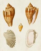 Knorr Shells VII Fine-Art Print