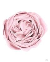 Powder Rose Fine-Art Print