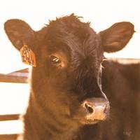 Baby Cow I Fine-Art Print