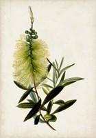 Bottle Brush Flower IV Fine-Art Print