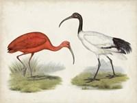 Antique Waterbirds II Fine-Art Print