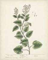Antique Herbs III Fine-Art Print