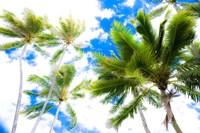 Hawaii Oahu Palms Fine-Art Print