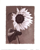 Sunflowers Fine-Art Print