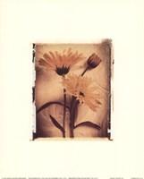Daisy Study II Fine-Art Print