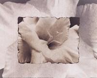 Calla Lily Fine-Art Print