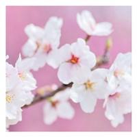 Blossoms Paris 3 Fine-Art Print
