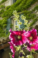 Hollyhocks Flowers Blooming In Provence Fine-Art Print