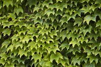 Natural Plants And Leaves Growing On Wall In Provence Fine-Art Print