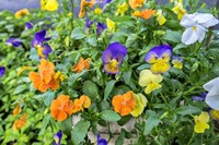 Pansies With Morning Dew Fine-Art Print