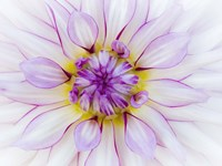 Purple & White Dahlia Fine-Art Print