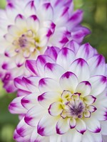 Pair Of Dahlias Fine-Art Print