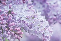 Lilac Close-Up Fine-Art Print