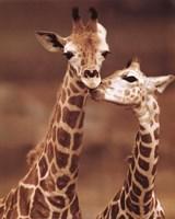 Giraffe First Love Fine-Art Print