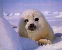 Seal - baby Fine-Art Print