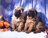Shar Pei Pups Fine-Art Print