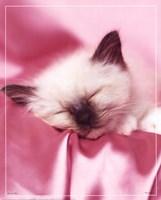 Kitten Sleeping Fine-Art Print