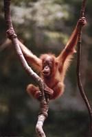 Orangutan Baby Fine-Art Print