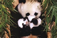 Panda Mother And Baby Wall Poster