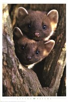 Pine Martens Wall Poster