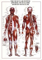 Muscular System Wall Poster