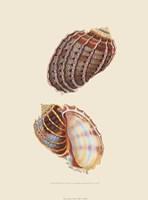 Chelsea Shells-3 of 6 Fine-Art Print
