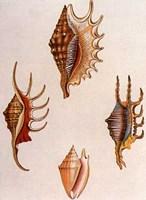 Shells-8 of 8 Fine-Art Print