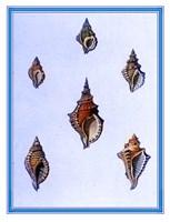 Shells-3 of 4 Fine-Art Print