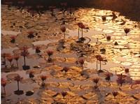 Lotus Pond Fine-Art Print