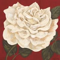 Rosa Blanca Grande I Framed Print