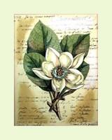 Magnolia Sur La Francais II Hand Colored Print