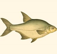 Small Antique Fish I Fine-Art Print