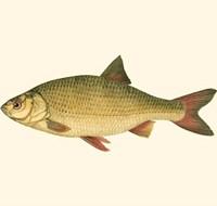 Small Antique Fish II Fine-Art Print