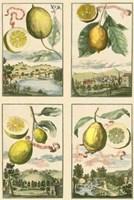 Miniature Lemons Fine-Art Print