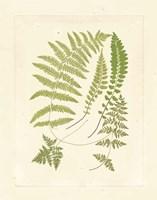 Ferns with Platemark II Fine-Art Print