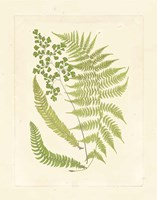 Ferns with Platemark III Fine-Art Print