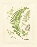 Ferns with Platemark IV Fine-Art Print