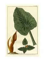 Botanical by Buchoz II (D) Fine-Art Print