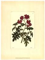 Red Curtis Botanical III Fine-Art Print