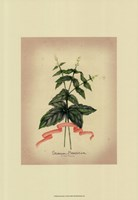 Herb Series IV Framed Print