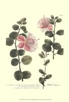 Weinmann, Pl. 303 Fine-Art Print